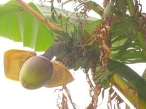 casco-banane